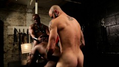 Muscled black stallion takes two hard cocks in his mouth and ass in interracial bondage